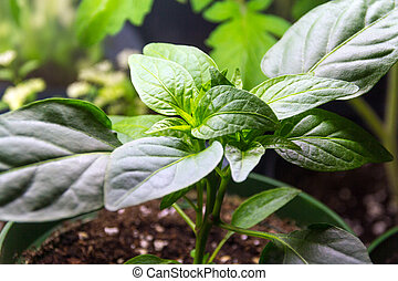 pepper plant growing indoor under neon light