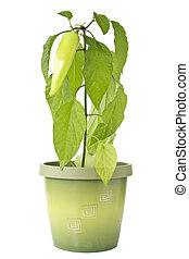 Pepper plant in a pot