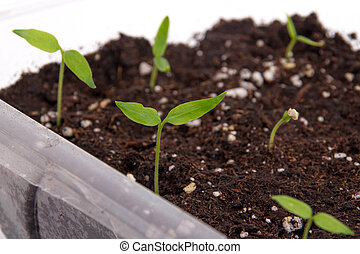 Pepper plant sprouted on soil indoo