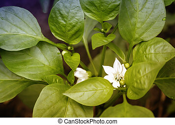Pepper plant with flowers and buds.