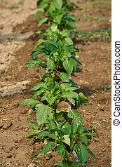 Pepper plants in rows