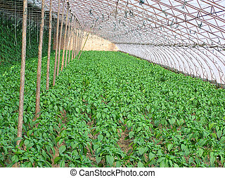 Pepper seedling in greenhouse vegetables on a farm