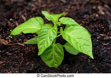 Pepper seedling plant in soil