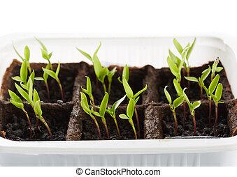 Pepper seedlings in a nursery