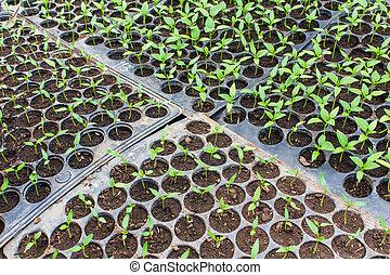 Pepper seedlings in pots