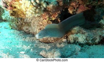 Peppered moray Siberea grisea underwater Red sea of Egypt. Muraenidae marine animals.