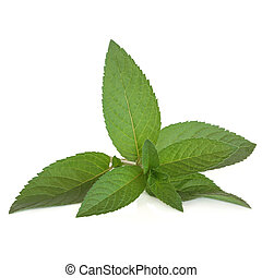 Peppermint Herb - Peppermint herb leaf sprig isolated over ...