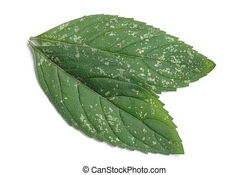 Peppermint - Isolated peppermint leaves