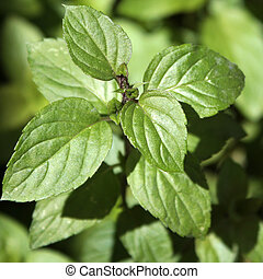 Peppermint leafs in a close-up
