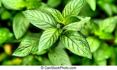 Peppermint - Mentha piperita also known as M balsamea Willd ...