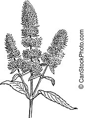 Peppermint or Mentha piperita, vintage engraving - ...
