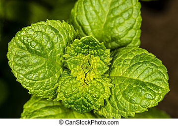 Peppermint plant for Mojito drink