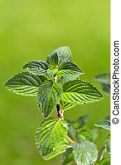 peppermint, plant, outdoors,...