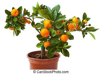 pequeño, aislado, blanco, árbol, fruta cítrica, olla