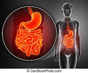 pequeño, anatomía, intestino