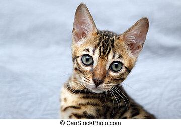 pequeño, bengala, gatito