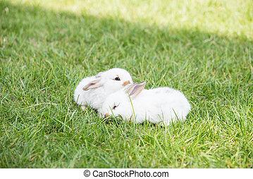 pequeño, blanco, pasto o césped, conejos