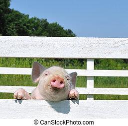 pequeño, cerdo