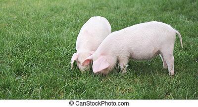 pequeño, cerdos