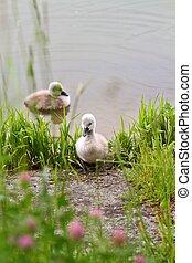 pequeño, cisne