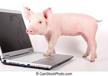 pequeño, computador portatil, cerdo