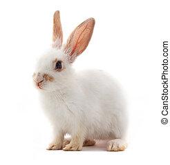 pequeño, conejo blanco