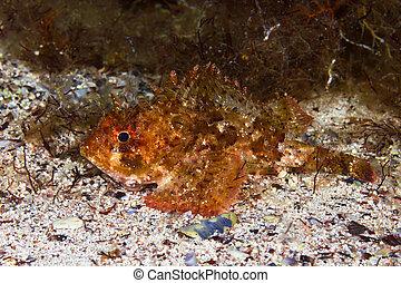 pequeño, escalado, scorpionfish