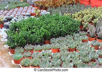 pequeño, flores, filas, ollas, invernadero
