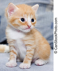 pequeño, gatito