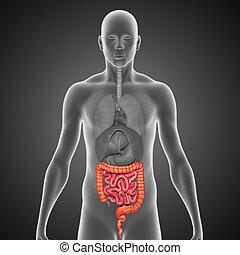 pequeño, intestino grueso