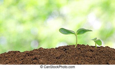 pequeño, pepino, planta de semillero, encima, luz del sol,...