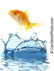pequeño, pez, oro
