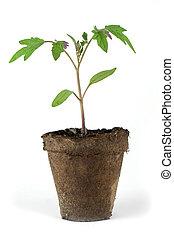 pequeño, planta de tomate