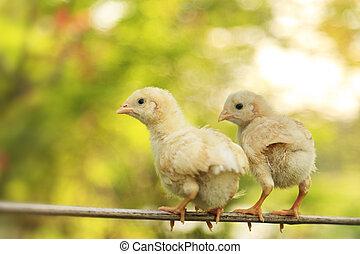 pequeño, polluelos