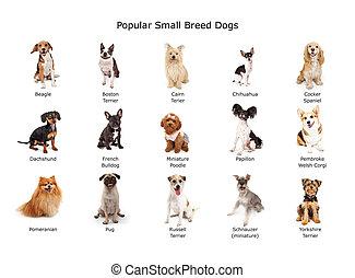 pequeño, popular, casta, perros, colección