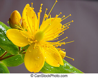 pequeño, primer plano, flor, wort, amarillo