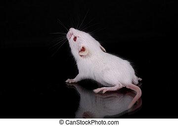 pequeño, ratón