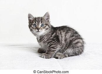 pequeño, rayado, gato