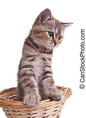 pequeno, animal estimação, gato, gatinho, branca, agradável