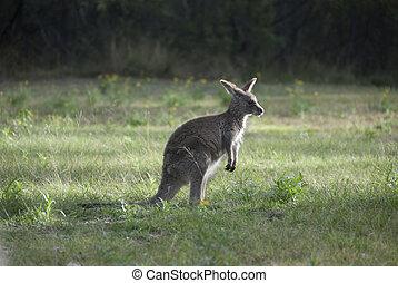 pequeno, australiano, canguru, em, alvorada