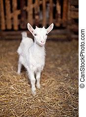 pequeno, cabra