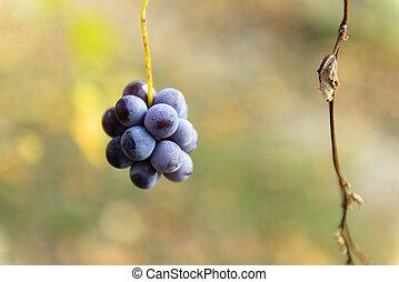 pequeno, cachos uvas, ligado, a, vinhedo, em, tarde, outono