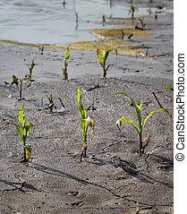 pequeno, campo, inundação, milho, após, plantas