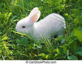 pequeno, coelho branco