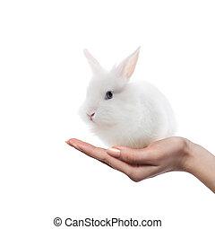 pequeno, coelho, mãos