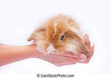 pequeno, coelhos, em, a, mãos