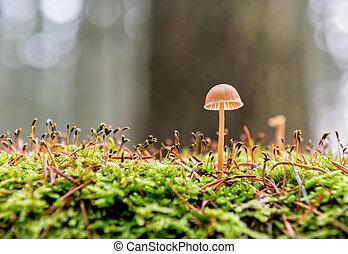 pequeno, cogumelo
