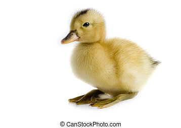pequeno, duckling