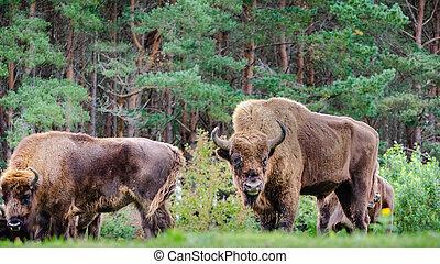 pequeno, europeu, bisonte, rebanho