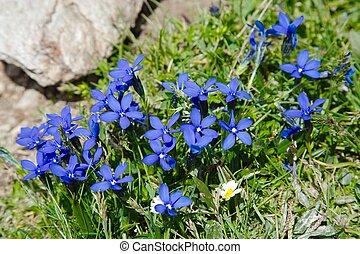 pequeno, flor alpina